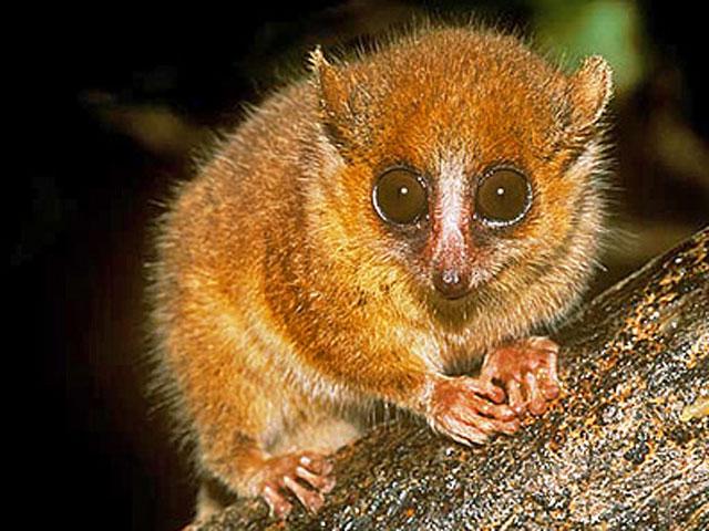 Microcebus berthae , un lémur de tan solo 10 cm de Madagascar